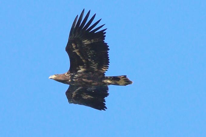 Đại bàng đuôi trắng xuất hiện ở Cornwall. Ảnh: Paul Ash.