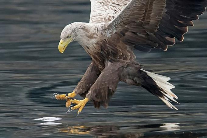 Đại bàng đuôi trắng là loài chim săn mồi lớn nhất ở Anh. Ảnh: PA.