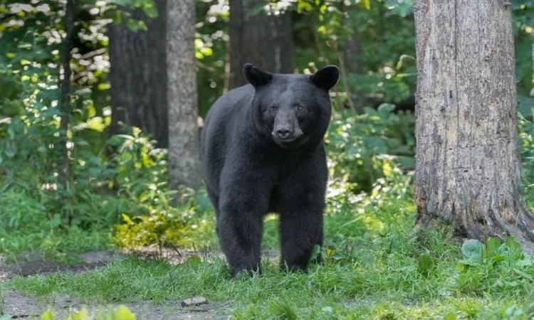 Gấu vồ người đàn ông đến gần con non