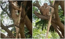 Cún thẫn thờ khi bị khỉ bế lên cây