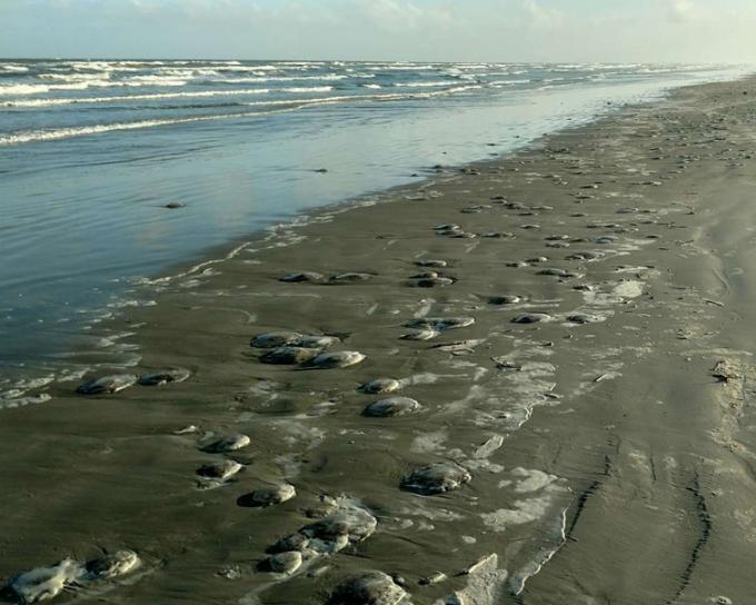 Xác sứa mặt trăng nằm la liệt trên bãi biển. Ảnh: PINS.