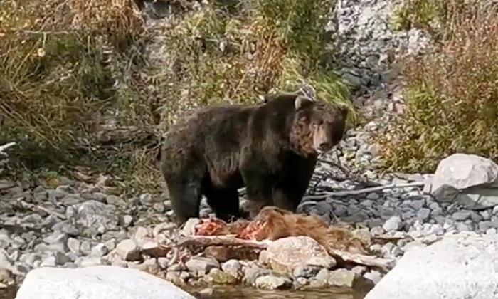 Gấu nâu đực ăn thịt con non vì thiếu thức ăn