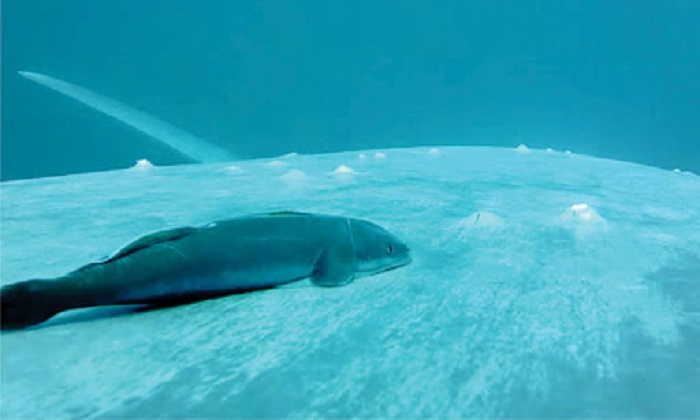 Cá giác mút 'lướt sóng' trên thân cá voi xanh