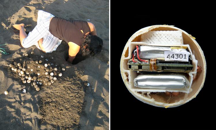 Trứng rùa giả gắn GPS giúp theo dõi nạn săn trộm