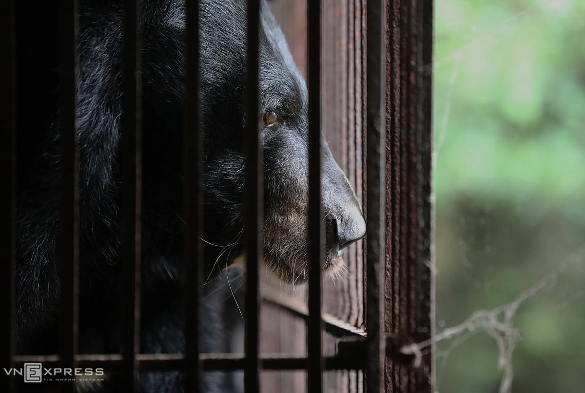 Cứu hộ hai gấu ngựa nuôi nhốt 20 năm