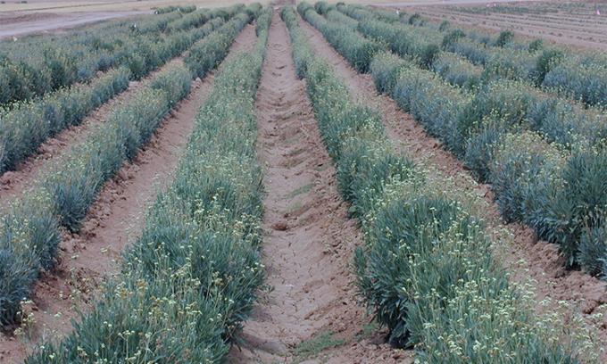 Một vườn cúc cao su trồng để chiết xuất xuất mủ ở Mỹ. Ảnh: DAFWA.