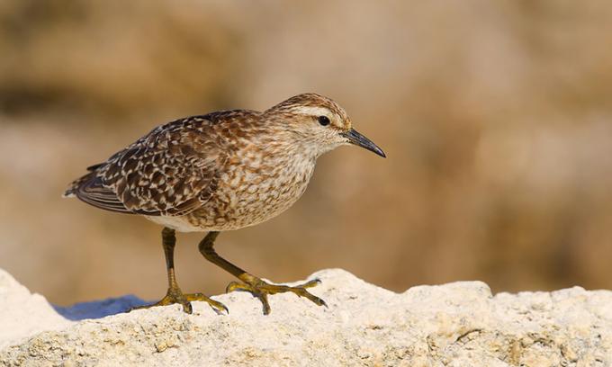 P. parvirostris là loài chim duy nhất còn tồn tại trong chi Prosobonia. Ảnh: Geoff Jones.