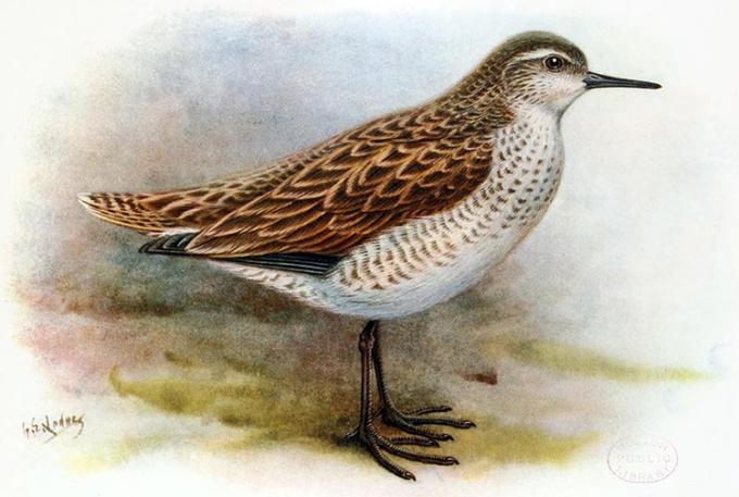 Mô phỏng loài chim lội nước Prosobonia sauli. Ảnh: George Edward Lodge.