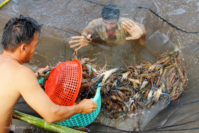Bà con nông dân ở Cà Mau thu hoạch tôm càng xanh. Ảnh: Phúc Hưng.