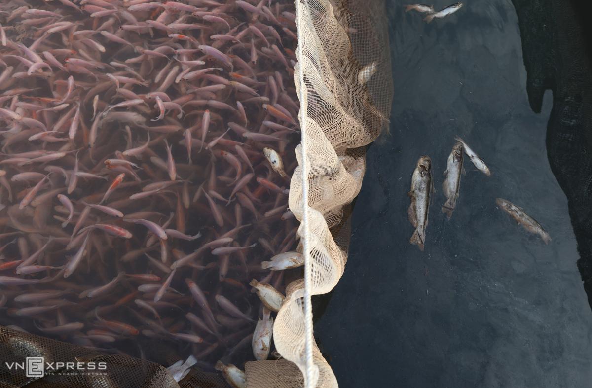 Nước sông Đà xuống thấp, người nuôi cá lồng lao đao