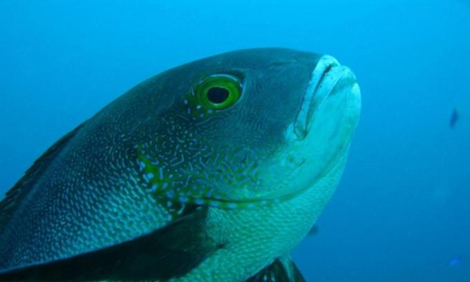 Con cá hồng phá kỷ lục cá già nhất thế giới ở rạn san hô. Ảnh: Brett Taylor/Viện Khoa học Hải dương Australia.