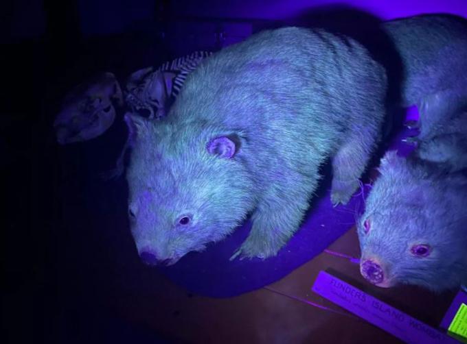 Mẫu vật gấu túi mũi trần phát sáng dưới tia UV. Ảnh: Kenny Travouillon.