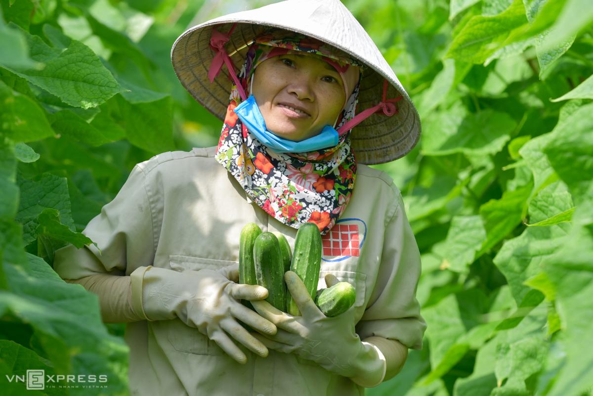 Vùng trồng dưa chuột lớn nhất xứ Thanh