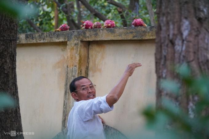 Ông Cao Văn Quyết đang bỏ thanh long lên bờ tường cho khỉ đuôi dài ăn, ngày 8/12. Ảnh: Việt Quốc.