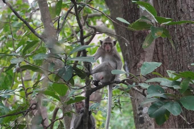 Hai trong số hơn 30 con trong đàn khỉ đuôi dài chờ ăn thanh long gần trụ sở Khu bảo tồn thiên nhiên Tà Cú, ngày 8/12. Ảnh: Việt Quốc,