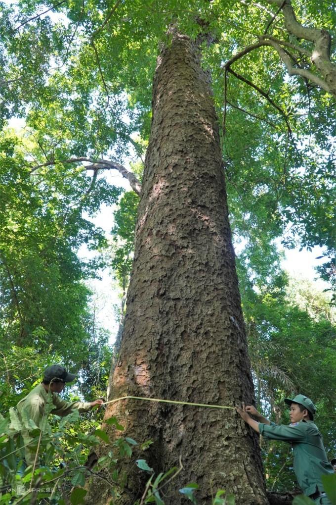 Anh Nguyễn Ngọc Trí, nhân viên Trạm Đèo Nam (trái) cùng đồng nghiệp đo một cây lim cổ thụ ở tiểu khu 257, xã Mỹ Thạnh. Ảnh: Việt Quốc.