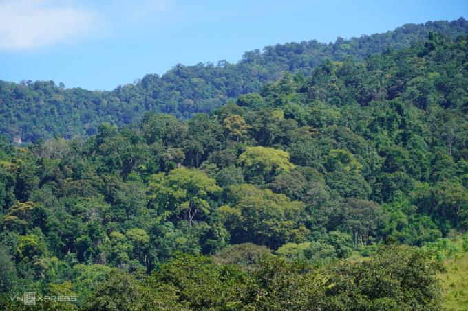 Một khoảnh rừng lim xanh ở gần làng Rai, xã Mỹ Thạnh (huyện Hàm Thuận Nam). Ảnh: Việt Quốc.