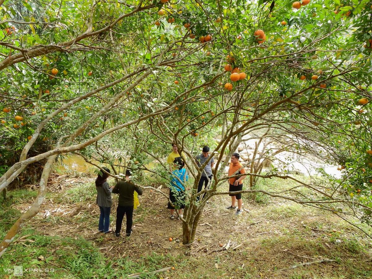 Vườn cam hút khách trải nghiệm