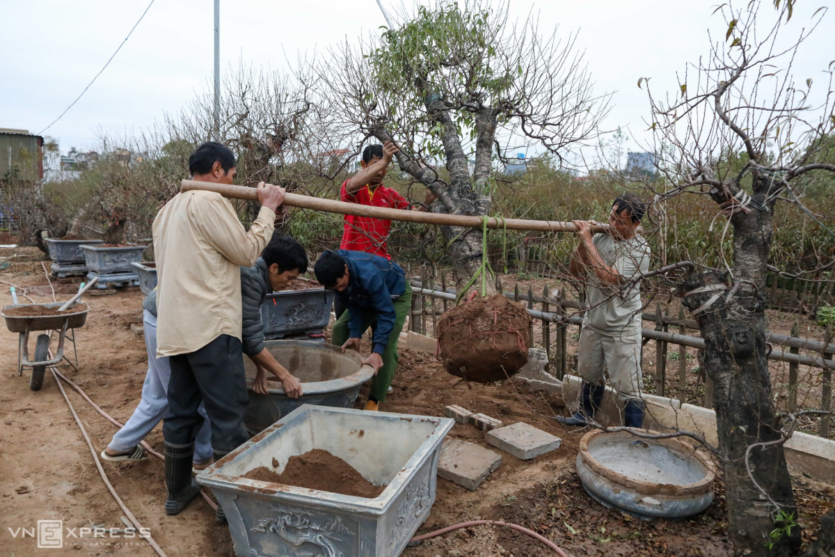 Người Nhật Tân chuẩn bị vụ đào Tết