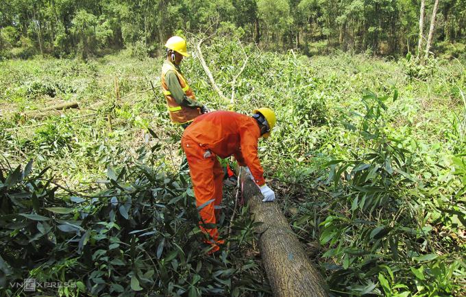 Khai thác rừng FSC ở Quảng Trị. Ảnh: Hoàng Táo.
