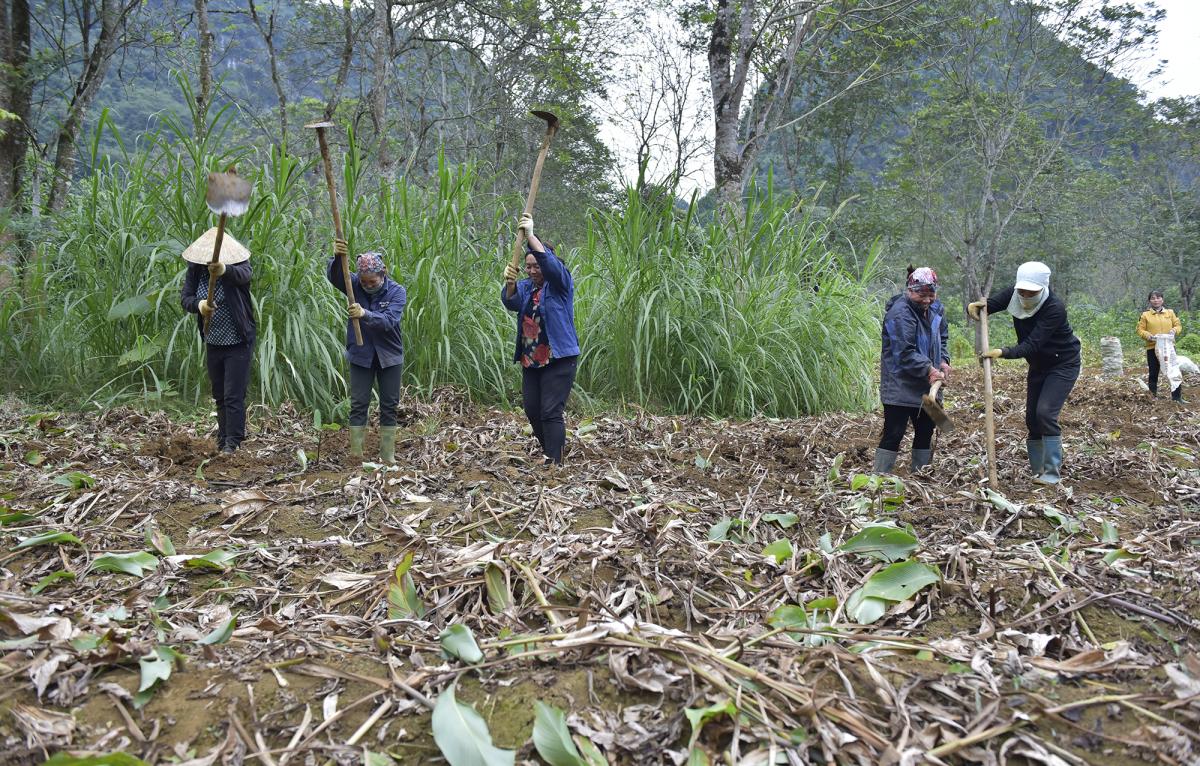 Nông dân Thanh Hóa thu hoạch dong riềng