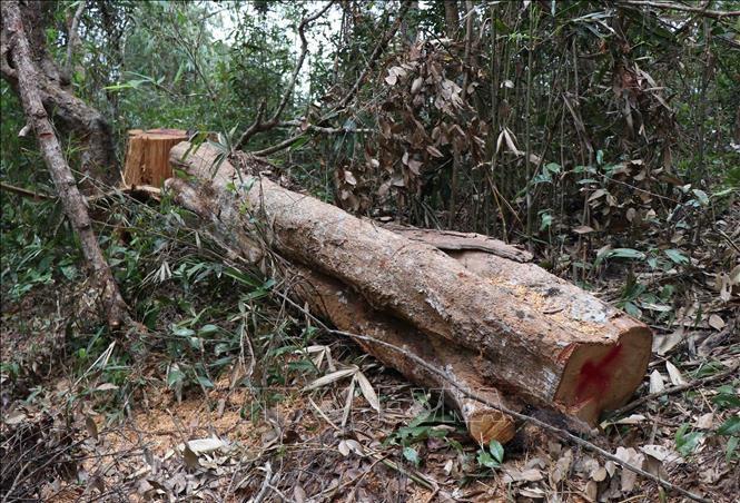 Một khúc cây bị đốn hạ trong rừng đặc dụng Mường Phăng. Ảnh: TTXVN