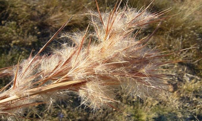 Phương pháp tách chiết giúp tìm ra những hợp chất tiềm năng bảo vệ sức khỏe của cây cỏ lau. Ảnh: Calflora.