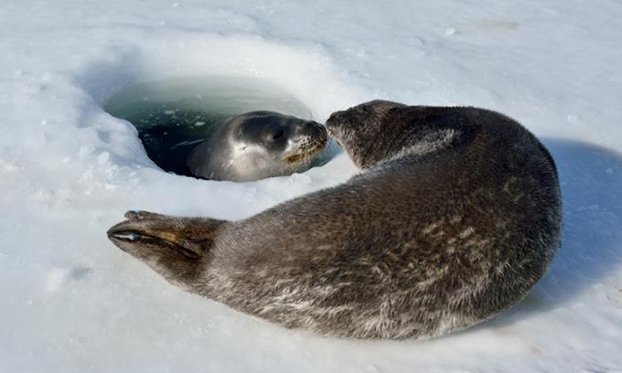 Hải cẩu Weddell sử dụng răng lớn khoét thủng lớp băng để hít thở. Ảnh: Kim Goetz.