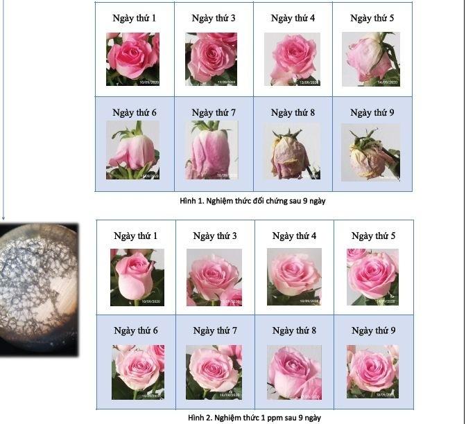 Kết quả thí nghiệm quá trình héo của hoa hồng trong 9 ngày khi sử dụng ion đồng hàm lượng 1 ppm. Ảnh: Nhân vật cung cấp.