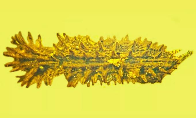 Bọ cánh cứng Stegastochlidus saraemcheana nhìn từ trên cao.  Ảnh: George Poinar Jr.
