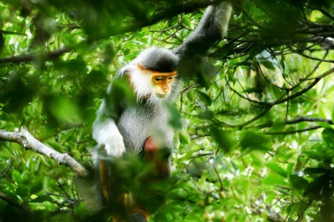 Voọc chà vá chân nâu được phát hiện ở rừng đặc dụng Bà Nà - Núi Chúa. Ảnh: Kiểm lâm cung cấp.