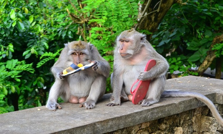 Khỉ trộm đồ giá trị để đổi thức ăn