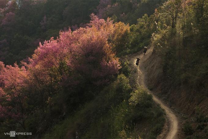 Đào rừng mọc tự nhiên ở Mù Cang Chải. Ảnh: Lê Trung Kiên