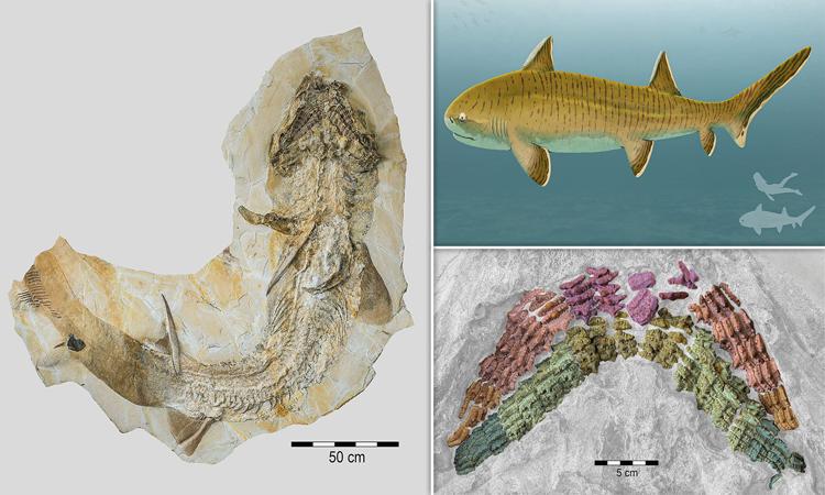 Hóa thạch cá mập cổ đại có 150 chiếc răng