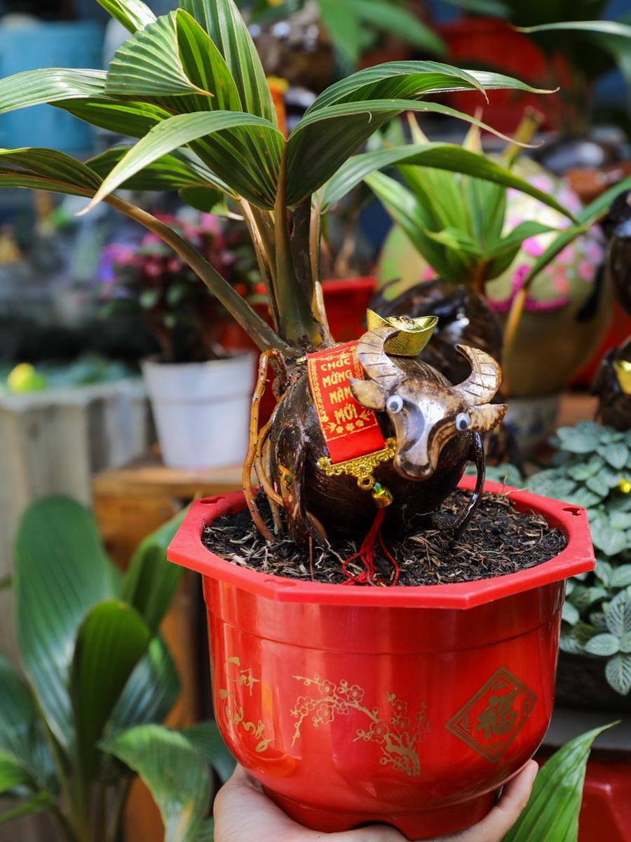 Bonsai dừa tạo hình trâu tiền triệu