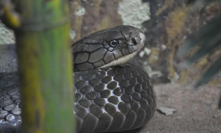 Lý do một số loài rắn không trúng độc của chính mình