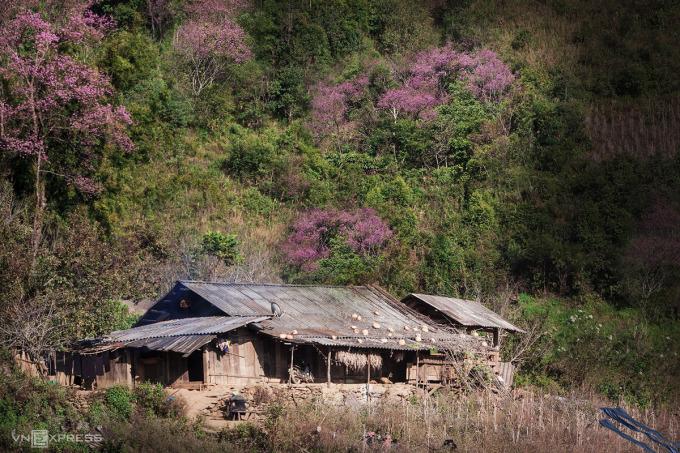 Đào rừng khoe sắc bên căn nhà gỗ của người Mông tại bản Trống Tông, xã La Pán Tẩn, huyện Mù Cang Chải, tỉnh Yên Bái. Ảnh:Lê Trung Kiên