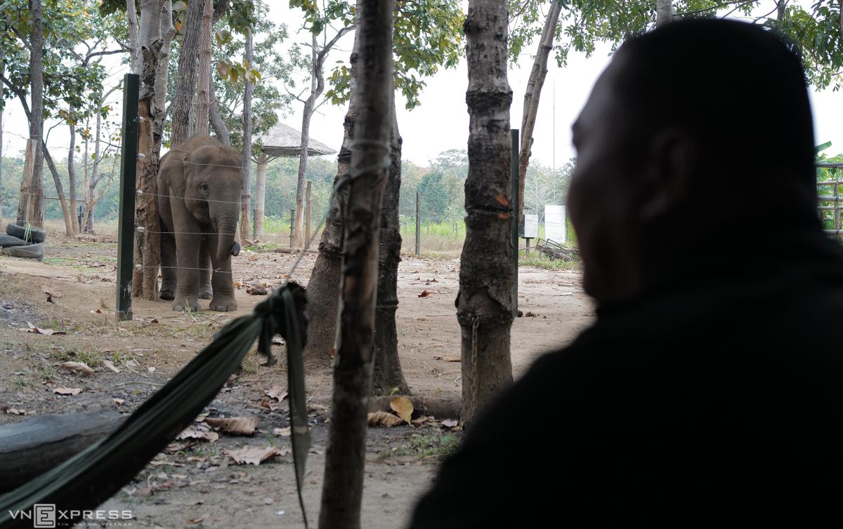 Cặp voi hoang dã sau hơn 5 năm cứu hộ