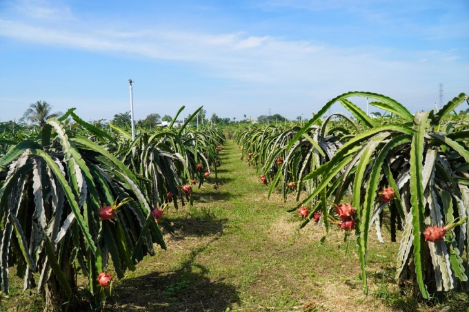 Một vườn thanh long vụ Tết đang cho trái chín ở xã Hàm Hiệp, huyện Hàm Thuận Bắc. Ảnh: Việt Quốc.