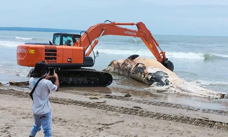 Xác cá voi dài 14 m dạt vào bãi biển Bali