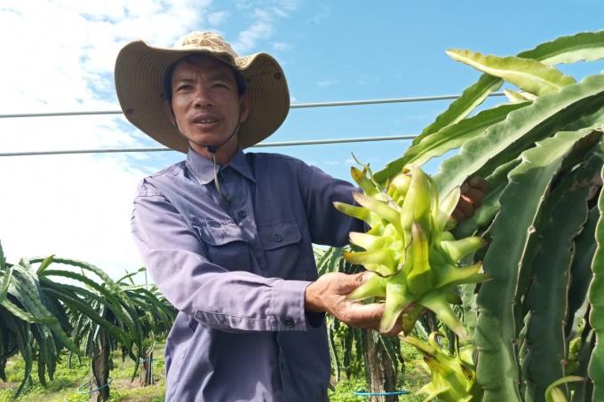 Ông Nguyễn Văn Thạo bên vườn thanh long ruột đỏ dự kiến thu hoạch vào ngày Rằm tháng Chạp tới. Ảnh: Việt Quốc.