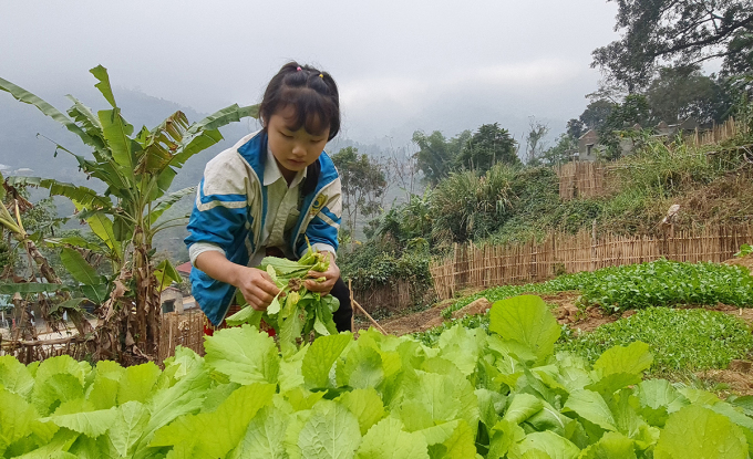 Nữ sinh ở trường Phổ thông dân tộc bán trú THCS Trung Lý thu hoạch luống rau xanh mướt. Ảnh: Lê Hoàng.