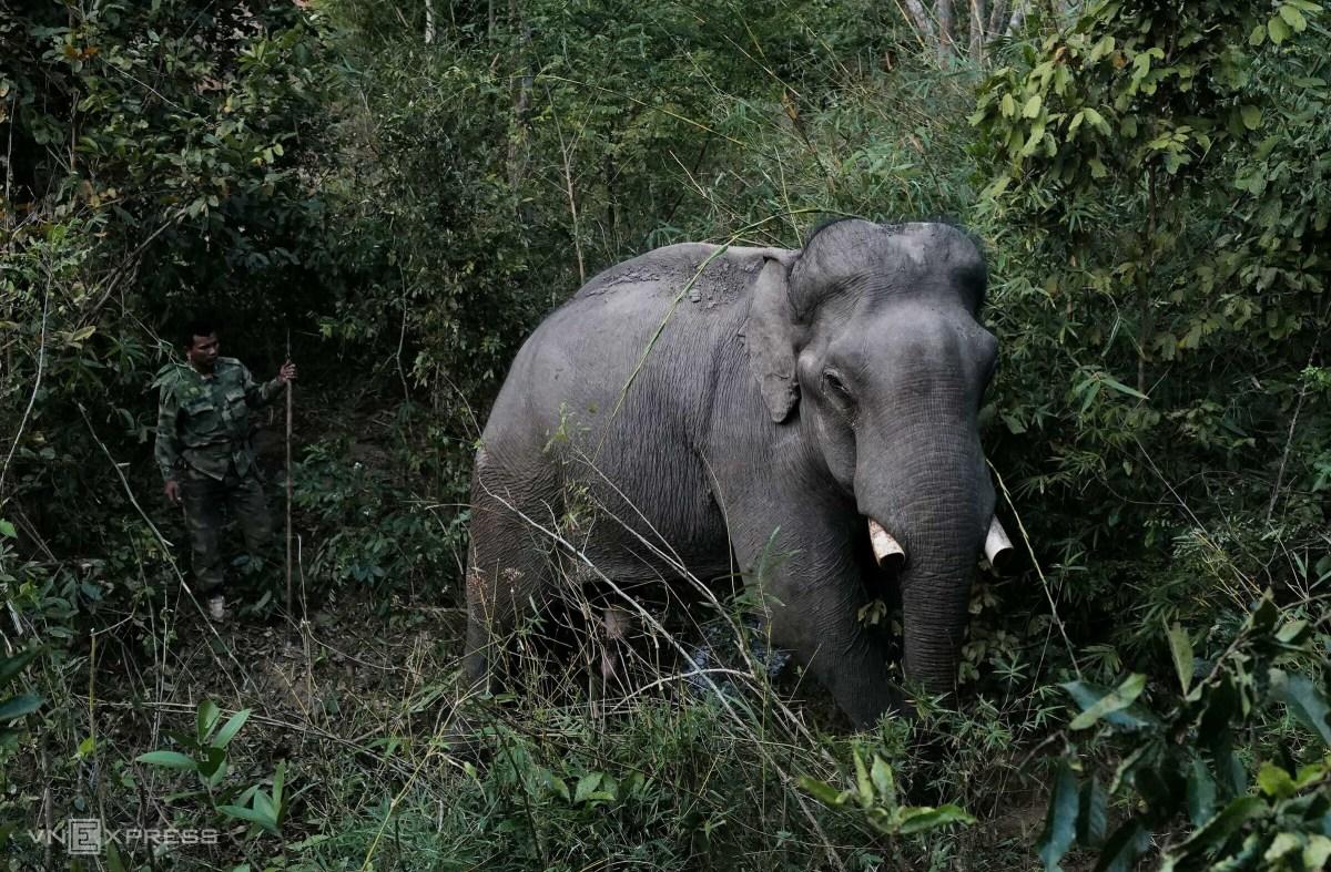 Những voi đực còn ngà ở Đăk Lăk