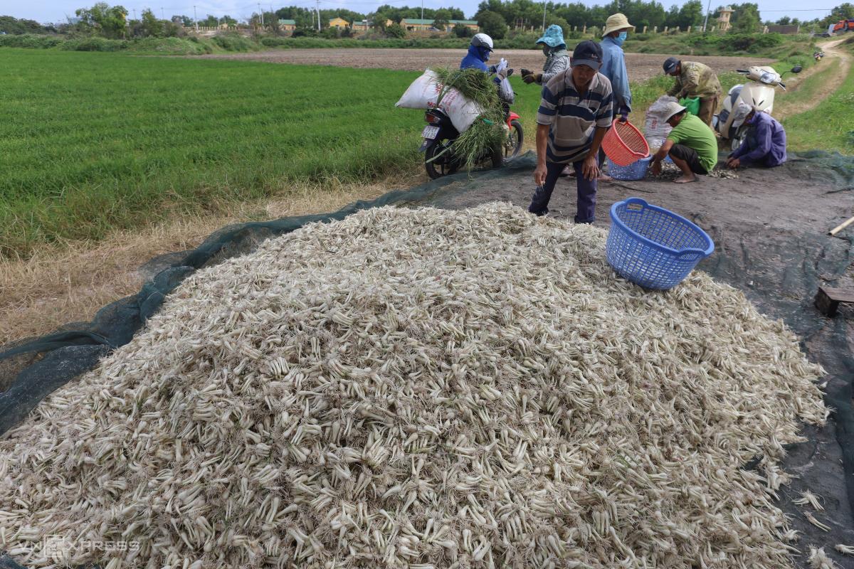 Nông dân nhổ củ kiệu bán Tết