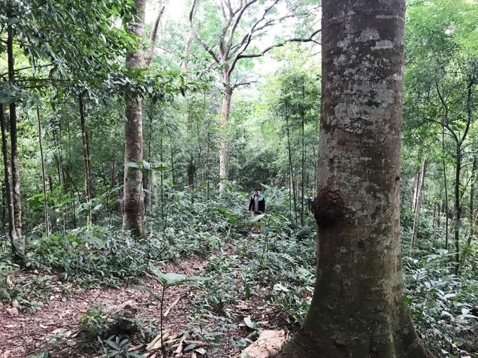Khu rừng nhà ông Cao với nhiều loại gỗ quý như lim, sến, táu. Ảnh: Minh Cương
