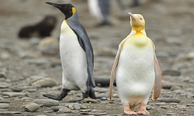 Con chim cánh cụt bạch thể đứng cạnh đồng loại có màu lông bình thường. Ảnh: Yves Adams.