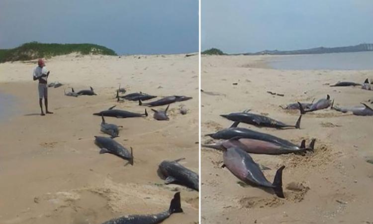 Cá heo chết hàng loạt trên bờ biển