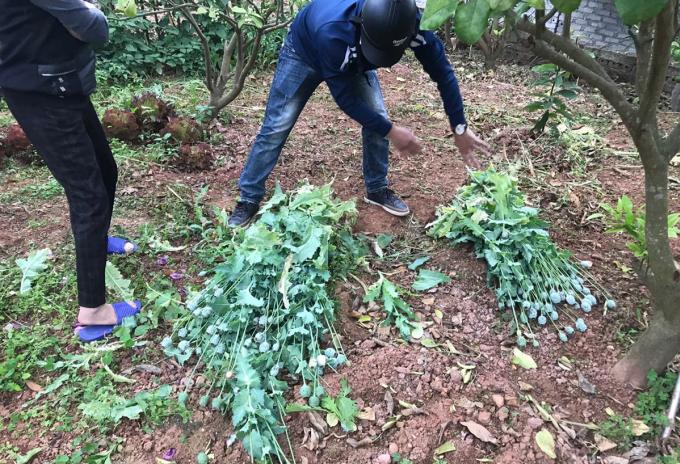 Cảnh sát thu giữ cây anh túc trong vườn nhà dân. Ảnh: Công an cung cấp.