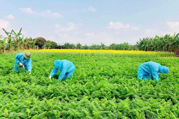 Các tình nguyện viên và nông dân mang đồ bảo hộ để thu hoạch cà rốt. Ảnh: Anh Khương cung cấp.