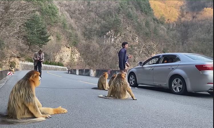 Voọc quý hiếm ngồi giữa đường gây cản trở giao thông